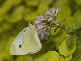 Cabbage White Butterfly Nectaring at a Flower (Pieris Rapae) Photographic Print by Robert Servranckx