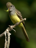 Great Crested Flycatcher (Myiarchus Crinitus) with Grasshopper Prey in its Beak, Pennsylvania, USA Reproduction photographique par Joe McDonald