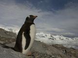 Gentoo Penguin, Pygoscelis Papua, Antarctica Photographic Print by Joe McDonald