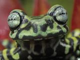 Tiger Tree Frog Eyes (Hyloscirtus Tigrinus), Pasto, Depart, Narino, Colombia Photographic Print by Thomas Marent