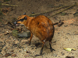 Java Mouse-Deer (Tragulus Javanicus), Malaysia Photographic Print by Thomas Marent