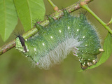 Moth Caterpillar (Eacles Masoni Tyrannus) Photographic Print by Leroy Simon