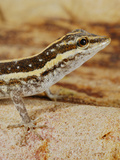 Socotra Rock Gecko (Pristurus Sokotranus), Socotra Island, Yemen Photographic Print by Fabio Pupin