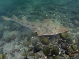 Shovelnose Guitarfish (Rhinobatos Productus), San Diego, California, USA, Pacific Ocean Photographic Print by Andy Murch