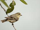 Lesser Goldfinch Female (Carduelis Psaltria), Arizona, USA Papier Photo par Mary Ann McDonald