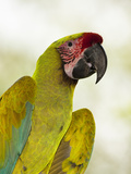 Great Green Macaw Head (Ara Ambiguus), Sarapiqui, Costa Rica Photographic Print by Mary Ann McDonald