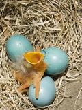 American Robin (Turdus Migratorius) Egg Hatching Fotografisk trykk av Steve Maslowski