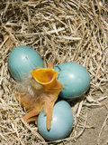 American Robin (Turdus Migratorius) Egg Hatching Photographic Print by Steve Maslowski