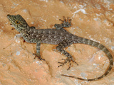 Rock Gecko (Pristurus Insignoides) Endemic to Socotra, Yemen Photographic Print by Fabio Pupin