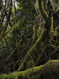 The Endemic Laurel Forest (Laurus Canariensis), La Gomera, Canary Islands, Spain Photographic Print by Fabio Pupin