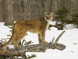 Mountain Lion (Felis Concolor) Standing on a Log Photographic Print by Jack Milchanowski