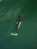 Dall's Porpoise (Phocoenoides Dalli) Bow-Riding a Boat in the Gulf of Alaska, USA Photographic Print by Joe McDonald