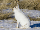 White-Tailed Jackrabbit (Lepus Townsendii), Montana, USA Photographic Print by Neal Mischler