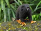 Golden-Handed Tamarin (Saguinus Midas), Brazil Photographic Print by Thomas Marent
