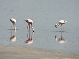Lesser Flamingo (Phoeniconaias Minor), Serengeti National Park Tanzania Photographic Print by Mary Ann McDonald