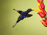 Violet Sabrewing Hummingbird (Campylopterus Hemileucurus) Nectaring at a Flower Photographic Print by Joe McDonald