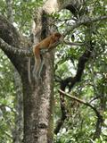 Female Proboscis Monkey Resting on a Branch (Nasalis Larvatus), Sabah, Borneo, Malaysia Photographic Print by Thomas Marent