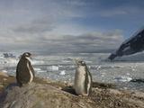 Gentoo Penguins, Pygoscelis Papua, Antarctica Photographic Print by Joe McDonald