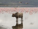 African Buffalo (Syncerus Caffer) Standing in the Water at Lake Nakuru, Samburu, Kenya Photographic Print by Joe McDonald
