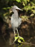 Little Blue Heron Adult in Non-Breeding Plumage (Egretta Caerulea), Costa Rica Photographic Print by Mary Ann McDonald