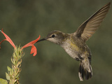 Anna's Hummingbird Female (Calypte Anna) Feeding at a Red Tubular Justicia Candicans Flower, USA Photographic Print by Charles Melton