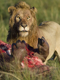 Male African Lion (Panthera Leo) Eating Hippo in the Masai Mara Game Reserve, Kenya Photographic Print by Joe McDonald