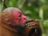 Red Uakari or Bald Uacari Head and Hand (Cacajao Calvus Rubicundus), Lago Preto, Peru Photographic Print by Thomas Marent