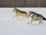 Gray Wolves (Canis Lupus) Running in the Snow, Northern Minnesota, USA Photographic Print by Jack Milchanowski