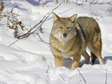 Coyote (Canis Latrans) Walking in the Snow Photographic Print by Jack Milchanowski