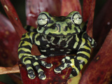 Tiger's Treefrog in a Bromeliad Flower (Hyloscirtus Tigrinus), Pasto, Depart, Narino, Colombia Photographic Print by Thomas Marent