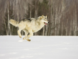 Gray Wolf (Canis Lupus) Running in the Snow, Northern Minnesota, USA Photographic Print by Jack Milchanowski