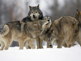 Gray Wolf Group (Canis Lupus), Montana, USA, Controlled Situation Photographic Print by Joe McDonald