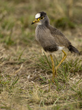 African Wattled Lapwing (Vanellus Senegallus) Walking in Grasslands, Masai Mara Game Reserve Photographic Print by Mary Ann McDonald