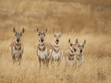 Pronghorn (Antilocapra Americana) Group Standing in a Field in Yellowstone National Park, USA Photographic Print by Joe McDonald