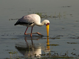 Yellow-Billed Stork (Mycteria Ibis) Feeding, Lake Nakuru, Lake Nakuru National Park, Kenya Photographic Print by Joe McDonald