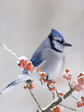 Blue Jay (Cyanocitta Cristata) in Icy Berries Reproduction photographique par Steve Maslowski
