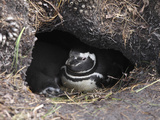Magellanic Penguin (Spheniscus Magellanicus) in Nest Burrow, Gypsy Cove, Falkland Islands Photographic Print by Richard Roscoe