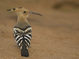 African Hoopoe, Upupa Epops, Kenya, Africa Reproduction photographique par Joe McDonald