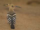 African Hoopoe, Upupa Epops, Kenya, Africa Photographie par Joe McDonald