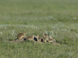 Black-Tailed Prairie Dog (Cynomys Ludovicanus), Montana, USA Photographic Print by Neal Mischler