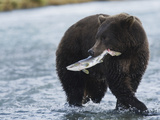 Brown Bear (Ursus Arctos) with Salmon (Salmonidae), Geographic Harbor, Katmai National Park Photographic Print by Arthur Morris