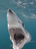 Shortfin Mako Shark (Isurus Oxyrinchus), San Diego, California, USA, Pacific Ocean Photographic Print by Andy Murch