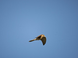 Greater Kestrel Flying (Falco Rupicoloides), Serengeti National Park, Tanzania Photographic Print by Mary Ann McDonald