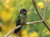 Magnificent Hummingbird (Eugenes Fulgens), Cierro La Muerte, Costa Rica Photographic Print by Thomas Marent