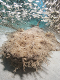 Tasseled Wobbegong (Eucrossorhinus Dasypogon) Laying on Sand Surrounded by Bait Fish Photographic Print by Andy Murch