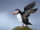 Atlantic Puffin (Fratercula Arctica) Flapping Wings, Iceland Photographic Print by Arthur Morris