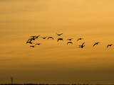 Tundra or Whistling Swans in Flight (Olor Columbianus), Montana, USA Photographic Print by Neal Mischler