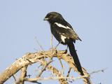 Magpie Shrike, Urolestes Melanoleuca, Africa Photographie par Joe McDonald