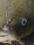 The Close-Up of the Head of a Black Bullhead (Ameiurus Melas) Photographic Print by Fabio Pupin