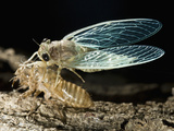 Cicada Metamorphosis, Madagascar Photographic Print by Joe McDonald